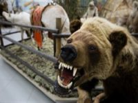Медведь убил 12 лошадей депутата Госдумы